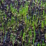 Growing seedlings from aeration and seeding