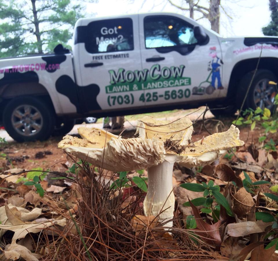 MowCow Lawn and landscape truck in front of lawn fungus