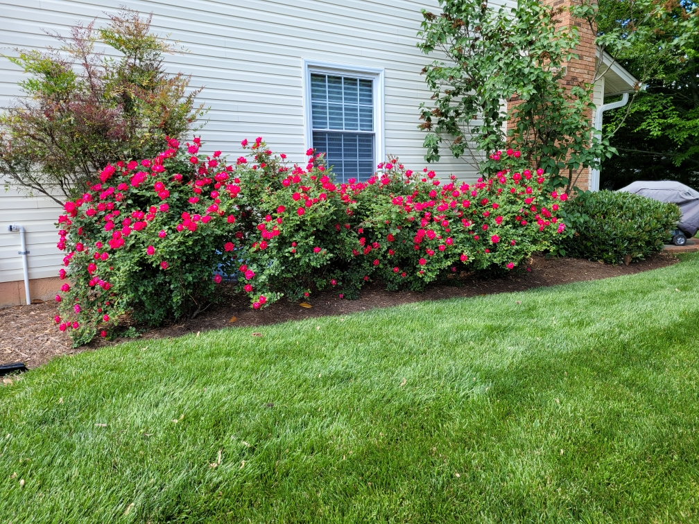 Rose bushes with plant health care