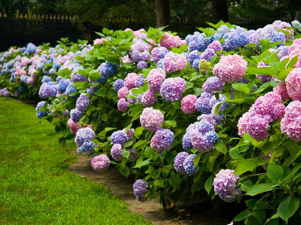 pink and purple hydrangea shrubs