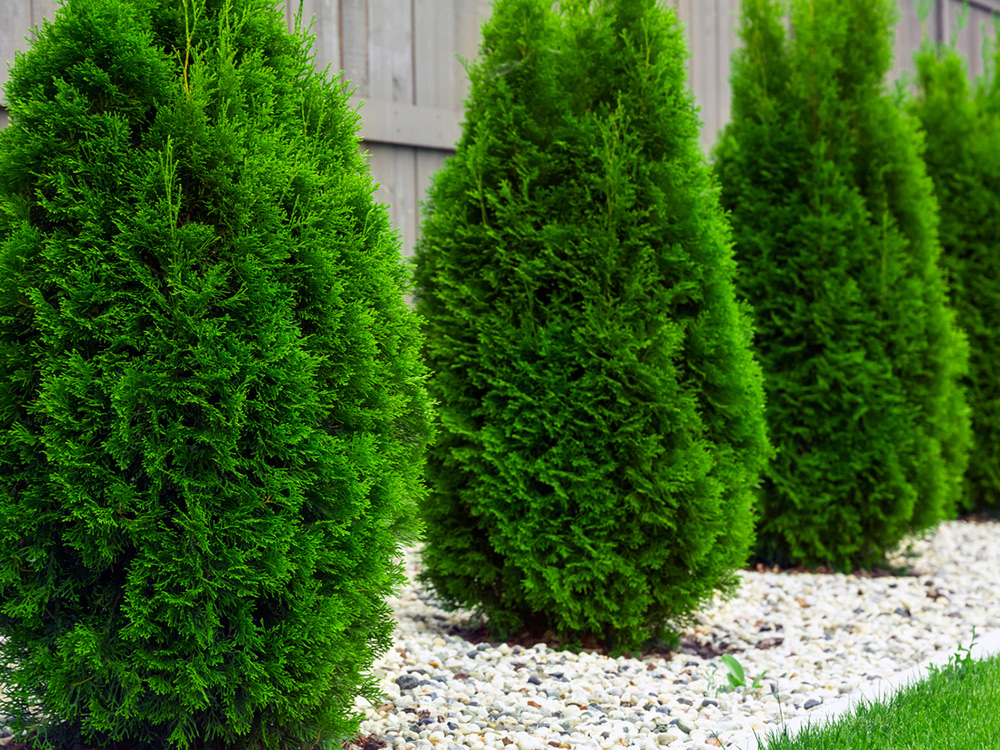 Arborvitae with plant health care in river jack stones