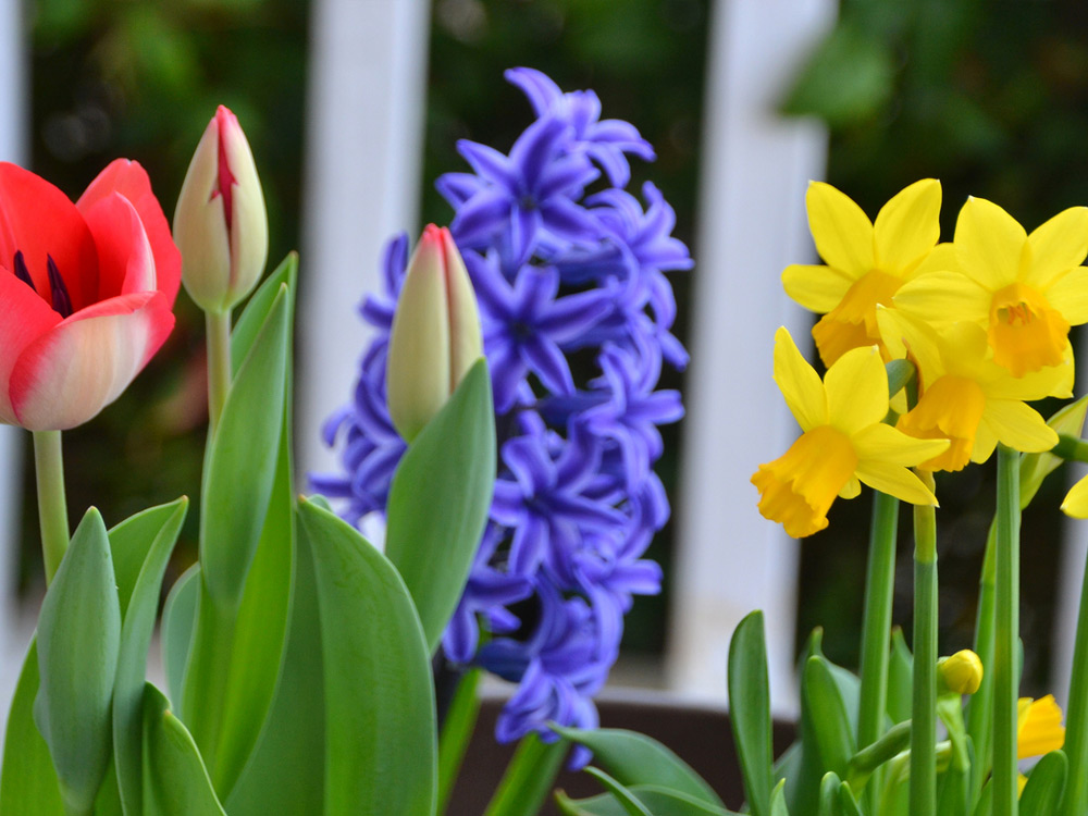 plants install of daffodil, hyacinth, tulip flowers