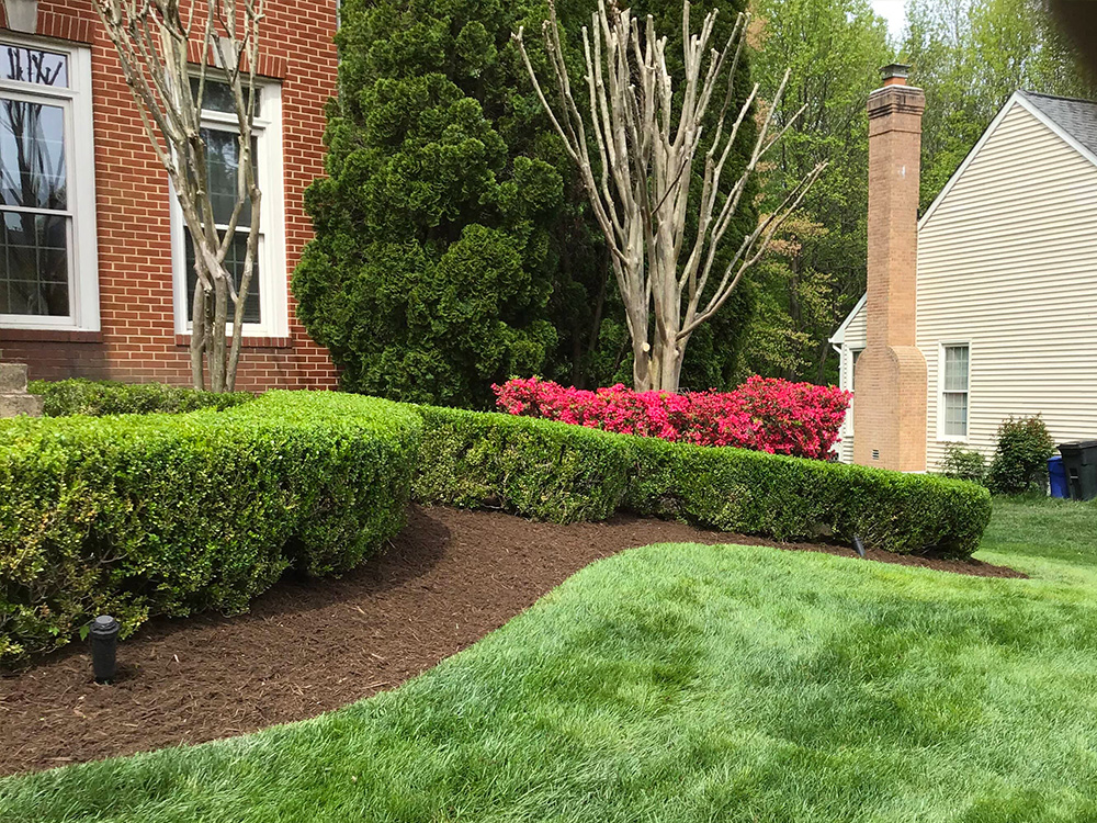 shrub pruning in mulched landscape beds