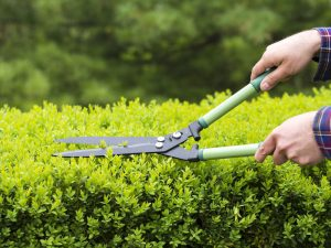 Shrub pruning the hedges